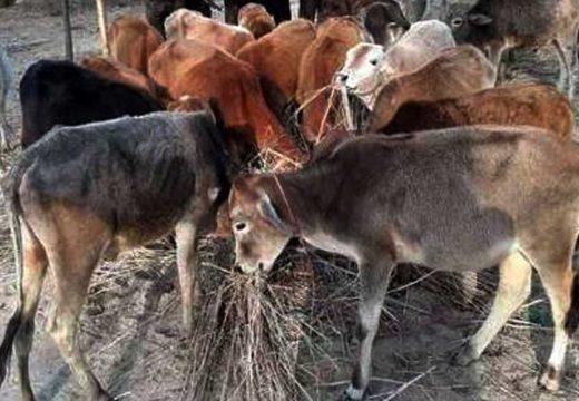 জৈন্তাপুরে বিজিবির পৃথক অভিযানে গরুর চালান আটক